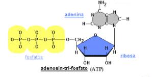 Esquema de molécula de ATP Sistemas energéticos