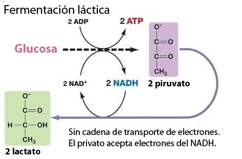 glucosa METABOLISMO ENERGÉTICO